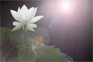 lotus in sun