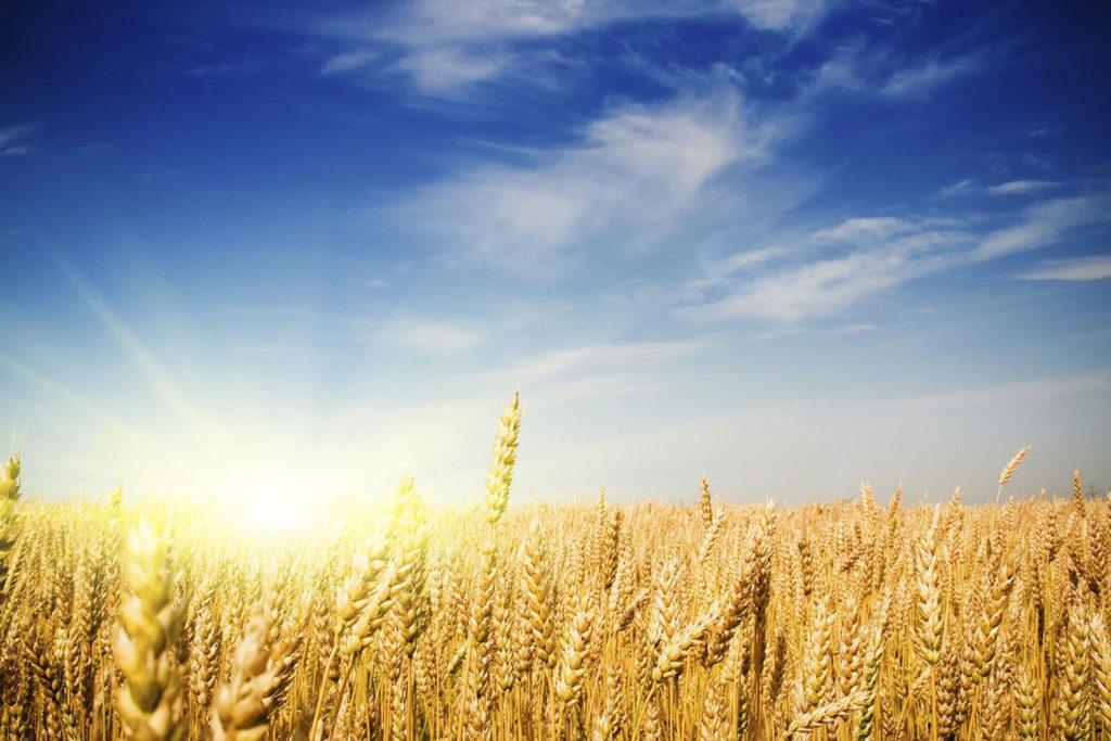 Wheat field representing the 2017 Lammas harvest