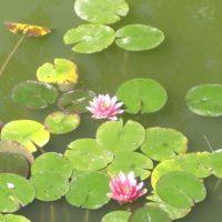 lilypads for the ancestral healing workshop