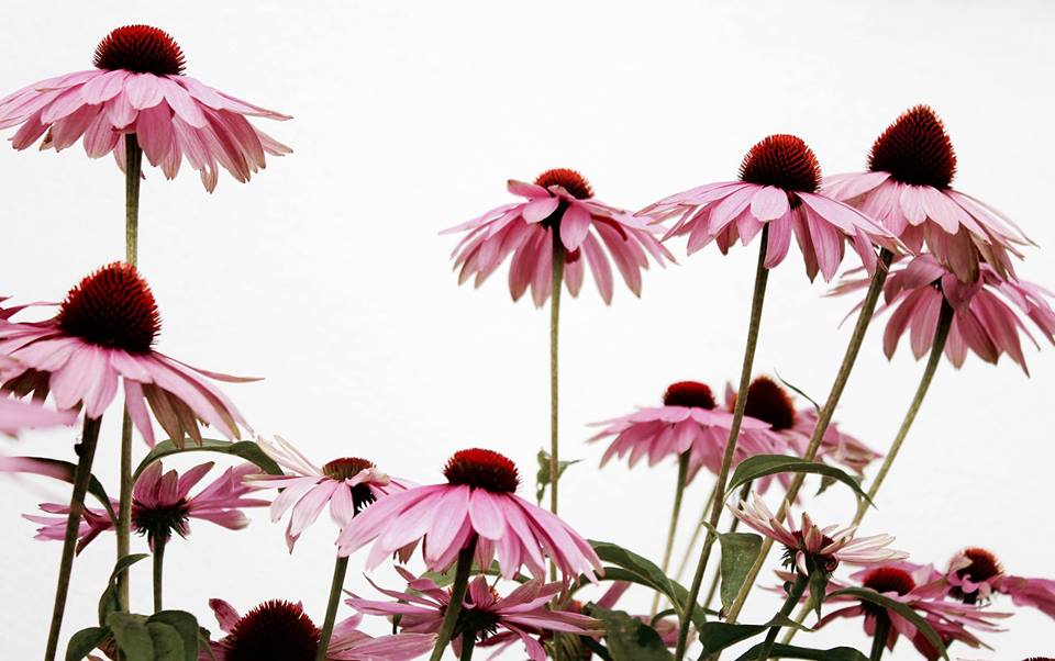 Botanical Medicine: Flowers As Healers Workshop with Julie James