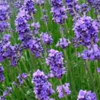 lavendar herbs for anxiety